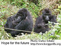 Gorillas with infants